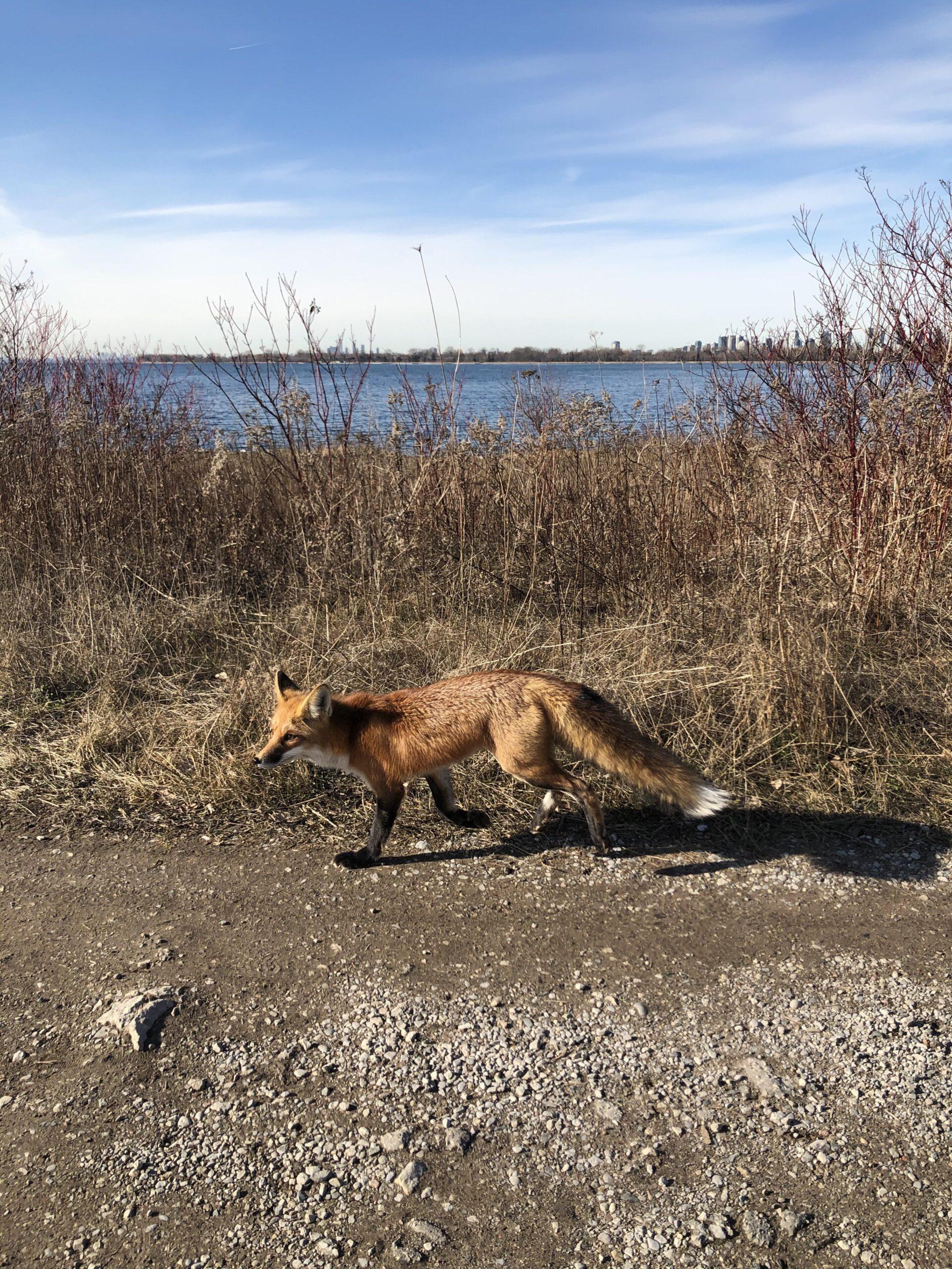 fox on toronto skyline